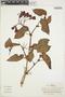 Begonia ferruginea L. f., Colombia, J. Cuatrecasas 27316, F