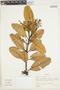 Brunellia acutangula Humb. & Bonpl., Venezuela, J. Cuatrecasas 28524, F