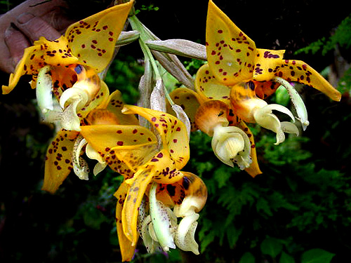 Specimen: Stanhopea