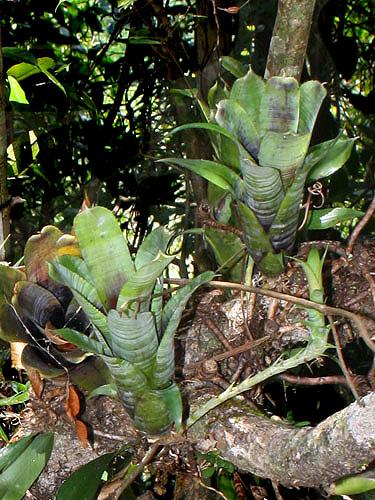 Specimen: Neoregelia pauciflora
