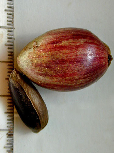 Specimen: Chrysophyllum