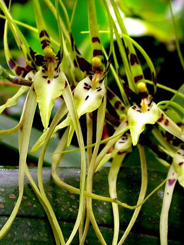 Specimen: Brassia arcuigera