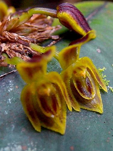 Specimen: Pleurothallis cordata