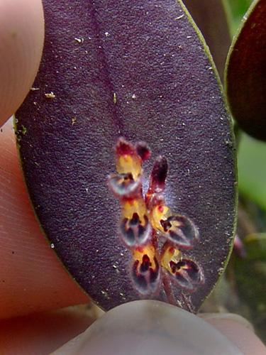 Specimen: Trichosalpinx memor