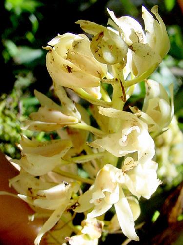 Specimen: Xylobium foveatum