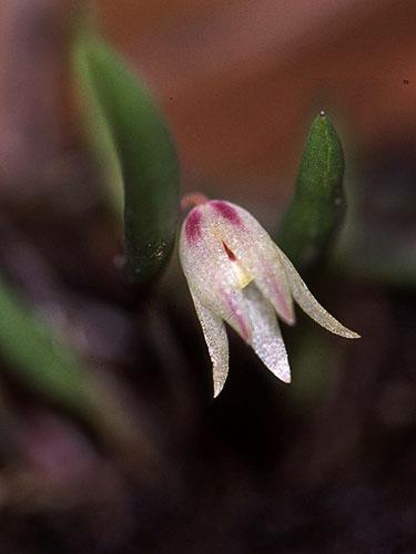Specimen: Octomeria flabellifera