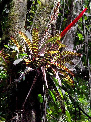 Specimen: Vriesea splendens
