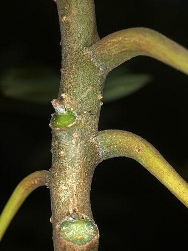 Specimen: Moringa oleifera