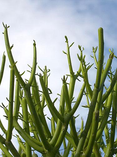 Specimen: Euphorbia tirucalli