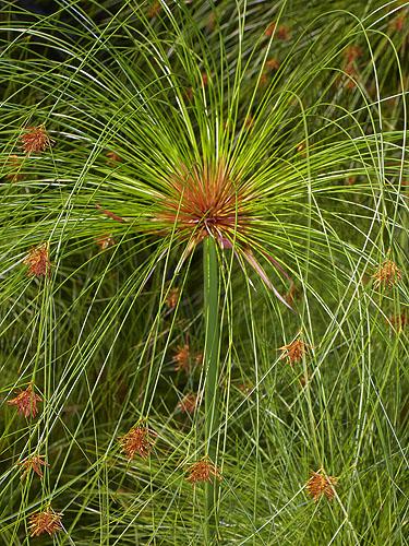 Specimen: Cyperus papyrus
