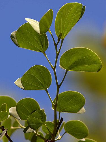 Specimen: Bauhinia variegata