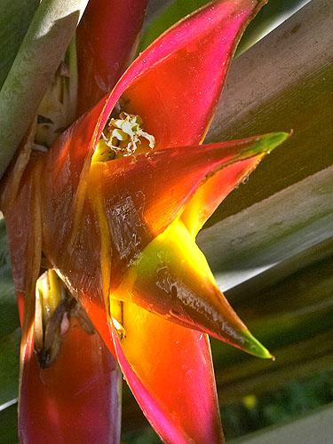 Specimen: Heliconia caribaea