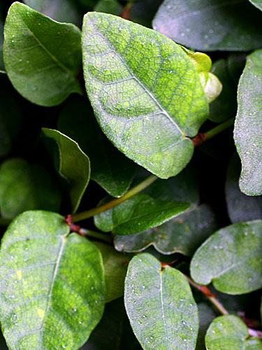 Specimen: Ficus pumila