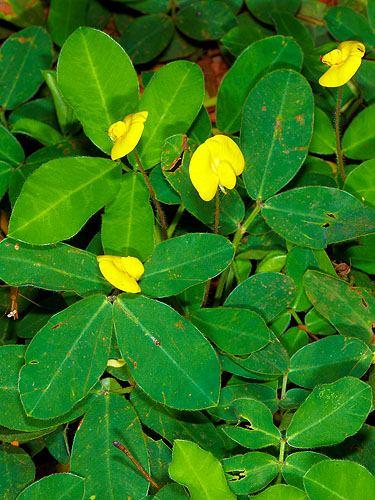 Specimen: Arachis pintoi