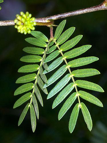 Specimen: Calliandra surinamensis