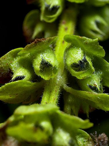 Specimen: Ocimum basilicum