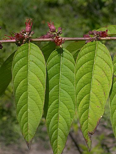 Specimen: Pehria compacta