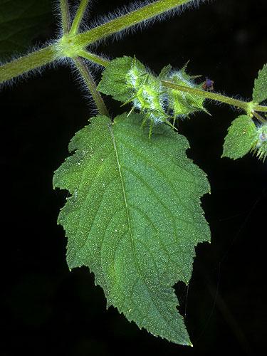 Specimen: Mesosphaerum suaveolens