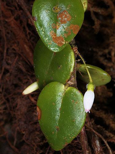 Specimen: Sphyrospermum buxifolium