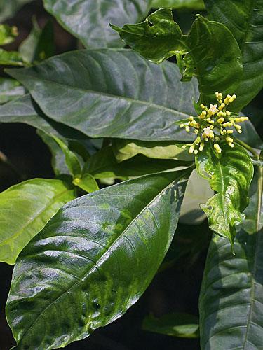 Specimen: Psychotria berteroana