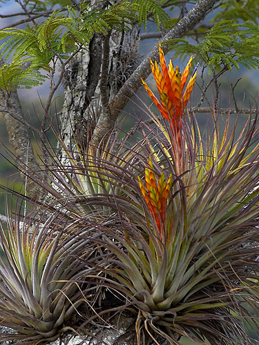 Specimen: Tillandsia fasciculata