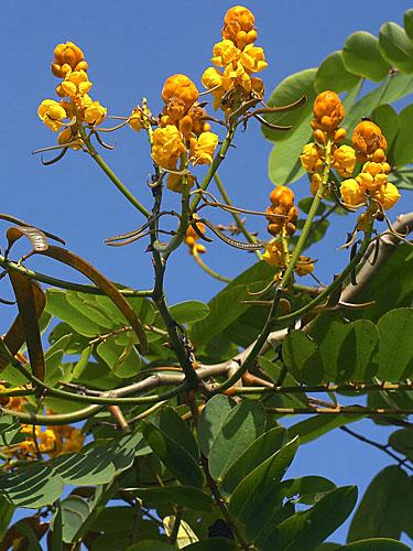 Espécime: Senna reticulata