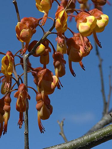 Specimen: Caesalpinia exostemma
