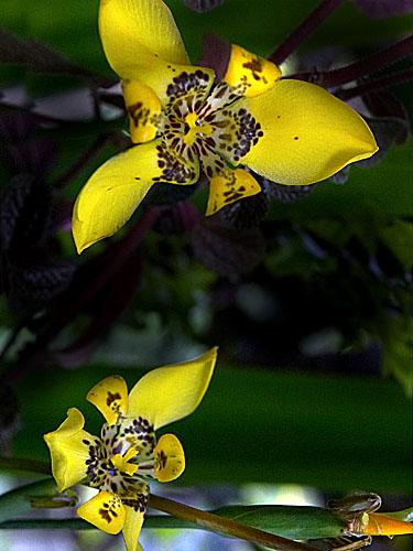 Specimen: Trimezia steyermarkii