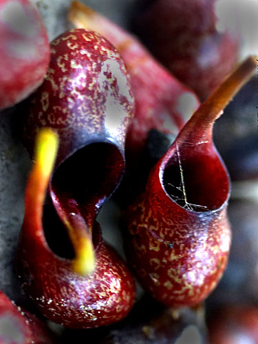 Espécimen: Sarcopera sessiliflora