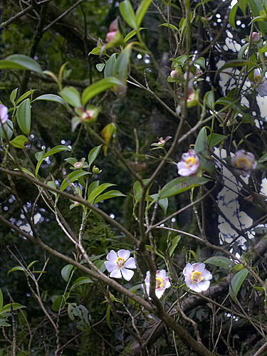 Specimen: Blakea gracilis