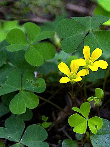 Specimen: Oxalis corniculata