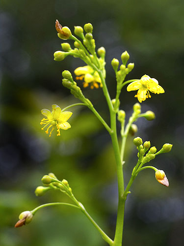 Specimen: Talinum paniculatum