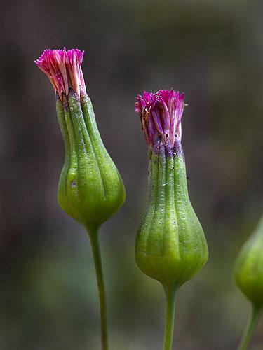 Specimen: Emilia fosbergii