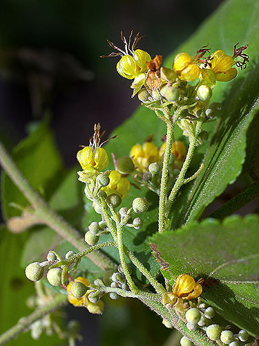 Specimen: Guazuma ulmifolia