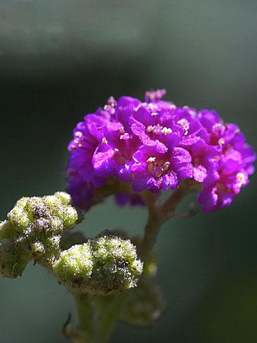 Specimen: Boerhavia coccinea
