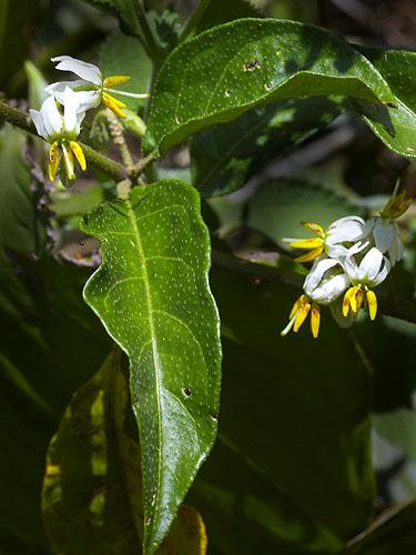 Specimen: Solanum volubile