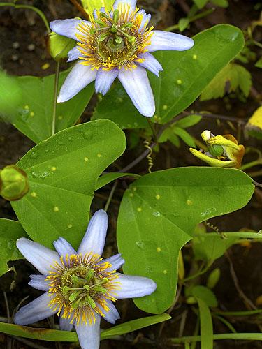 Specimen: Passiflora bicornis