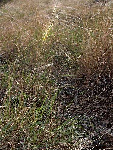 Specimen: Trachypogon plumosus