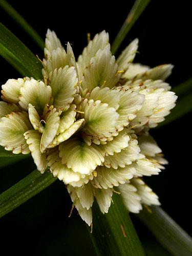 Specimen: Cyperus tenerrimus