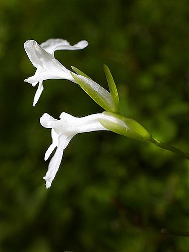 Specimen: Maranta arundinacea