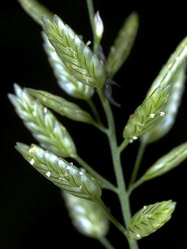 Specimen: Eragrostis cilianensis