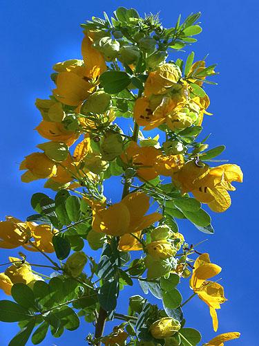 Specimen: Senna pallida