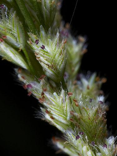 Specimen: Eragrostis ciliaris