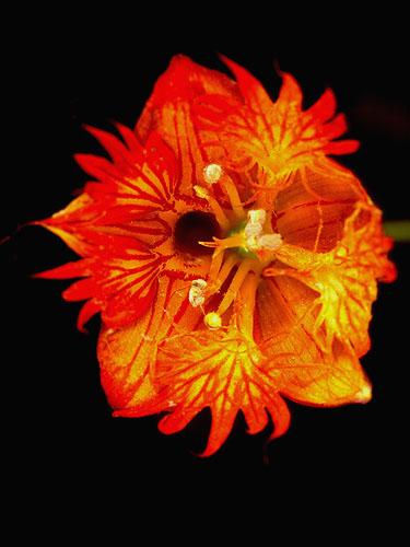 Specimen: Tropaeolum moritzianum