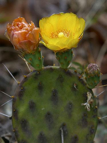 Specimen: Opuntia decumbens