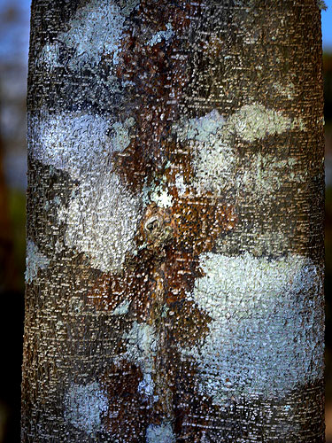 Espécime: Haematoxylum brasiletto