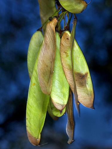 Specimen: Haematoxylum brasiletto