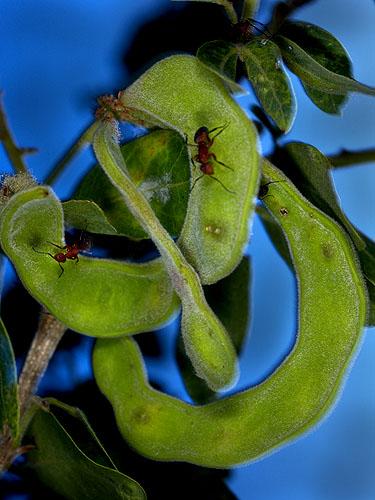 Specimen: Pithecellobium dulce