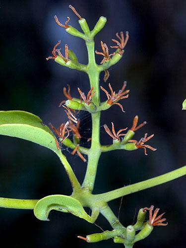 Specimen: Struthanthus orbicularis