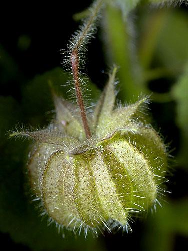 Specimen: Herissantia crispa